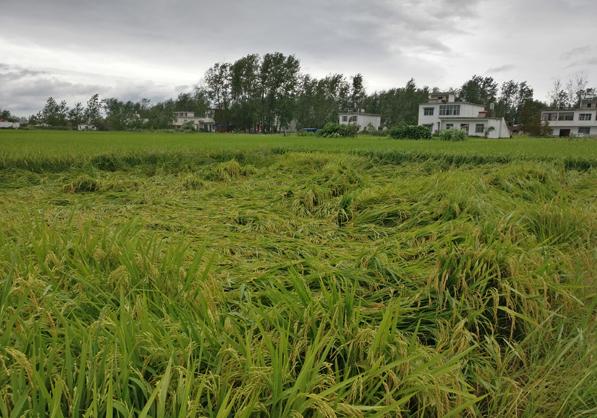 水稻直播,抗倒先行丨详解水稻抗倒的几个关键点